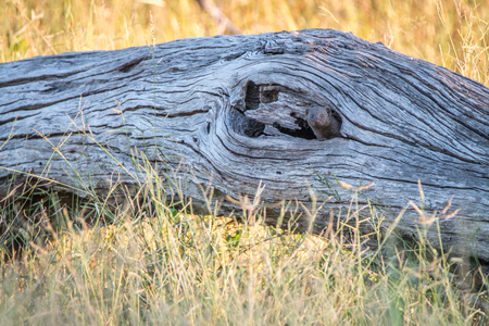 chobe: A Dwarf mongoose hiding in the tree in the Chobe National Park, Botswana.