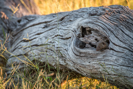A Dwarf mongoose hiding in the tree in the Chobe National Park, Botswana.