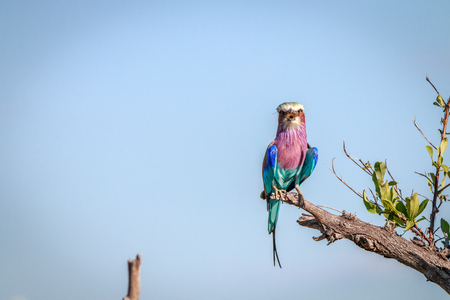 chobe: A Lilac-breasted roller resting on a branch in the Chobe National Park, Botswana. Stock Photo