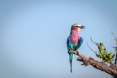 roller: A Lilac-breasted roller resting on a branch in the Chobe National Park, Botswana. Stock Photo