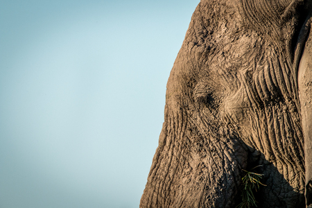 Close up of an Elephant in the Chobe National Park, Botswana.