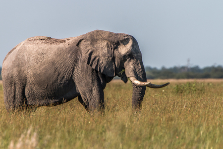 reserve: An Elephant walking in the grass in the Chobe National Park, Botswana. Stock Photo