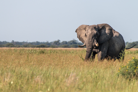 chobe: An Elephant walking in the grass in the Chobe National Park, Botswana. Stock Photo