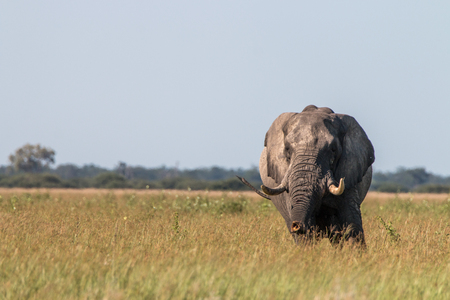 An Elephant starring at the camera in the Chobe National Park, Botswana.