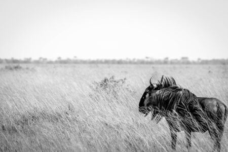 migrate: A Blue wildebeest standing in high grass in the Chobe National Park, Botswana.