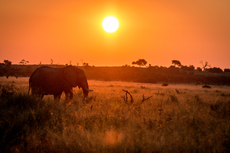 chobe: An Elephant walking during the sunset in the Chobe National Park, Botswana.