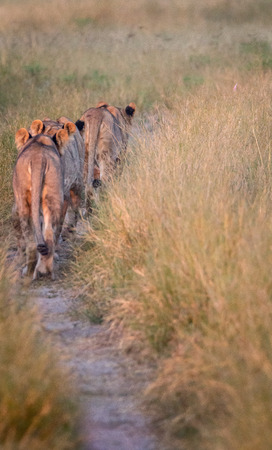 chobe: A pride of Lions walking on the road in the Chobe National Park, Botswana. Stock Photo