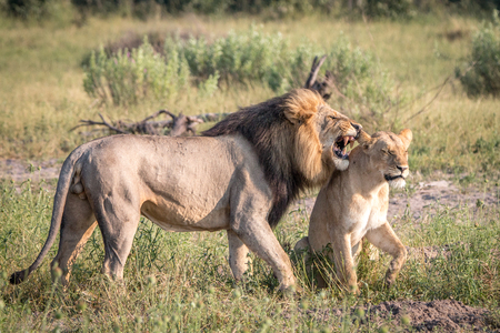 chobe: A mating couple of Lions in the Chobe National Park, Botswana. Stock Photo