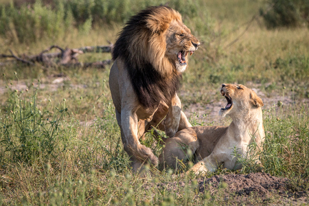A mating couple of Lions in the Chobe National Park, Botswana. Imagens