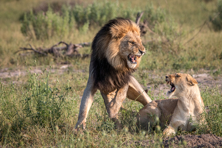 A mating couple of Lions in the Chobe National Park, Botswana. Stock Photo