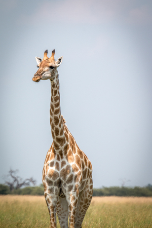 A Giraffe standing in front of the camera in the Chobe National Park, Botswana.