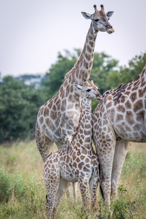 A baby Giraffe bonding with the mother in the Chobe National Park, Botswana. Stock Photo