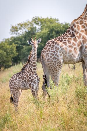 Una jirafa bebé protagonizada por la cámara en el Parque Nacional de Chobe, Botswana.