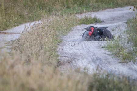 A Southern ground hornbill dust bathing in the Chobe National Park, Botswana.