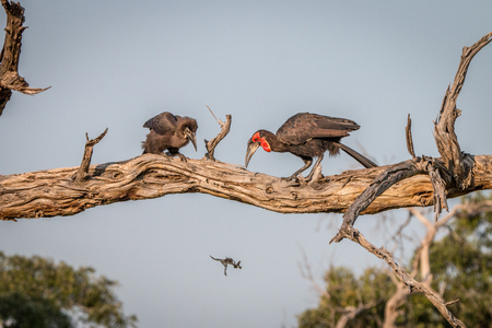 Two Southern ground hornbills on the branch in the Chobe National Park, Botswana.