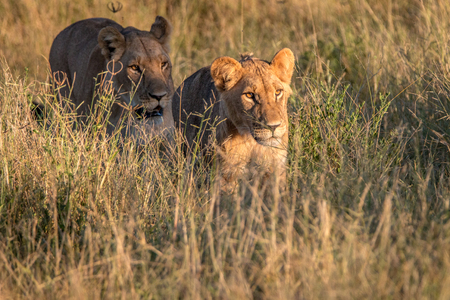 Two Lions walking in the grass in the Chobe National Park, Botswana. Stock Photo