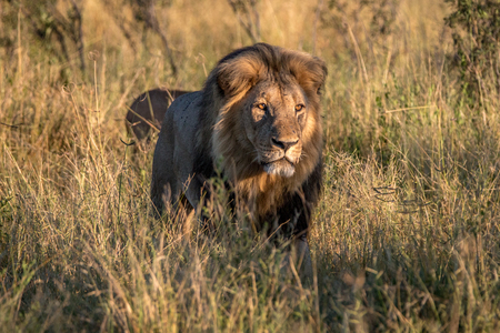 A male Lion walking in the grass in the Chobe National Park, Botswana. Stock Photo