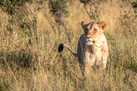 A female Lion walking in the grass in the Chobe National Park, Botswana. Stock Photo
