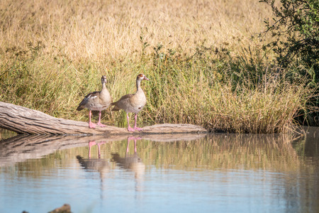 alopochen: Two Egyptian geese standing in front of the water in the Chobe National Park, Botswana.