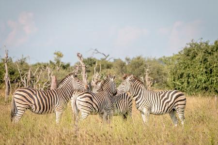 ungulate: Zebras bonding in the grass in the Chobe National Park, Botswana. Stock Photo