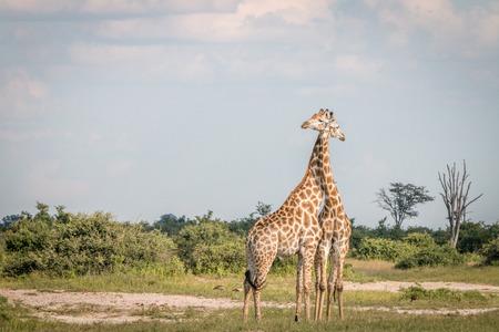 Two Giraffes bonding in the grass in the Chobe National Park, Botswana.