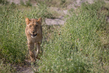 A Lion cub walking towards the camera in the Chobe National Park, Botswana. Stock Photo