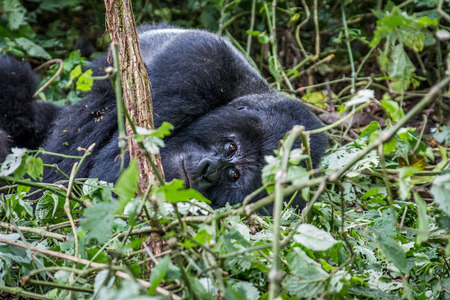 Silverback Mountain gorilla laying down in the Virunga National Park, Democratic Republic Of Congo.