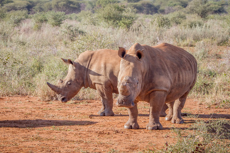 poaching: Two White rhinos standing in the sand, South Africa.