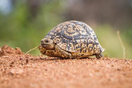 despacio: Close up of a Leopard tortoise on dirt in the Kruger National Park, South Africa. Foto de archivo
