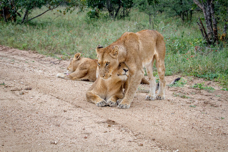 Pride of Lions on a dirt road in the Kruger National Park, South Africa. Stock Photo