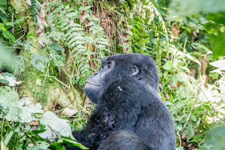 Silverback Mountain gorilla sitting in between the bushes in the Virunga National Park, Democratic Republic Of Congo. Stock Photo
