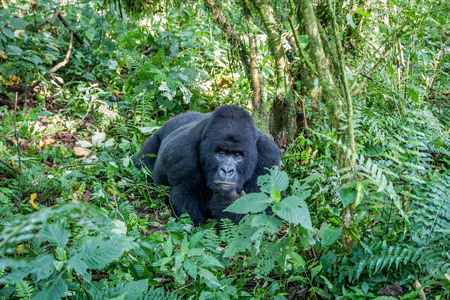 Silverback Mountain gorilla laying on the ground in the Virunga National Park, Democratic Republic Of Congo.
