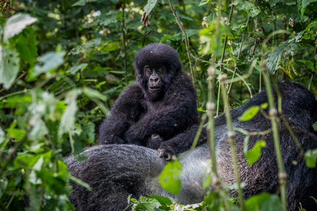 primates: Close up of a baby Mountain gorilla in the Virunga National Park, Democratic Republic Of Congo.