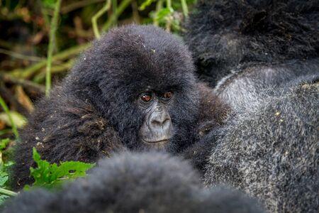 Close up of a baby Mountain gorilla in the Virunga National Park, Democratic Republic Of Congo.