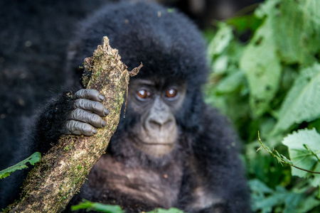 Close up of the hand of a baby Mountain gorilla in the Virunga National Park, Democratic Republic Of Congo. Stock Photo