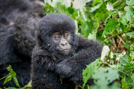 Close up of a baby Mountain gorilla in the Virunga National Park, Democratic Republic Of Congo.