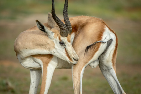 Springbok grooming himself in the Kalagadi Transfrontier Park, South Africa. Stok Fotoğraf