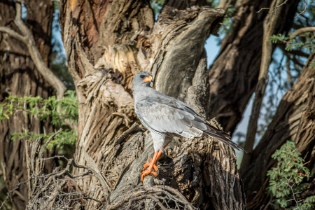 Pale-chanting goshawk on a branch in the Kalagadi Transfrontier Park, South Africa.