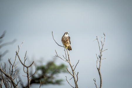 Lanner falcon on a branch in the Kalagadi Transfrontier Park, South Africa. Stock Photo