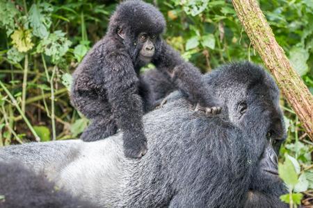 귀리 고는 Virunga 국립 공원, 콩고 민주 공화국에서에서 아기 산 고릴라. 스톡 콘텐츠