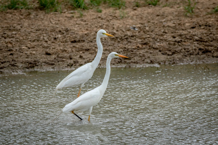 Two Yellow-billed egrets standing in the water in the Kalagadi Transfrontier Park, South Africa.