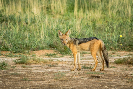 Black-backed jackal looking at the camera in the Kalagadi Transfrontier Park, South Africa.