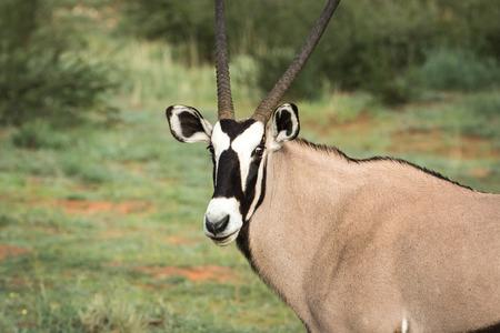 Orxy acteurs bij de camera in het Kalagadi Transfrontier Park, Zuid-Afrika.