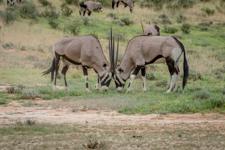 game drive: Two Orxy fighting in the grass in the Kalagadi Transfrontier Park, South Africa. Stock Photo