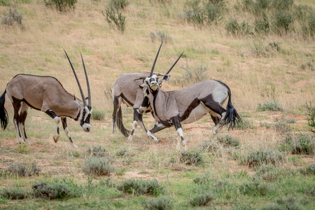 Two Orxy fighting in the grass in the Kalagadi Transfrontier Park, South Africa. Stock Photo