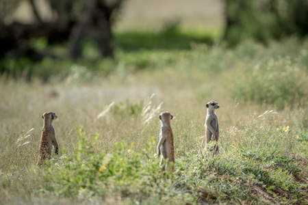 Group of Meerkats on the look out in the grass in the Kalagadi Transfrontier Park, South Africa. Stock Photo