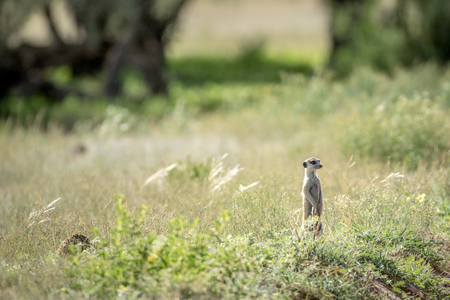 watchful: Meerkat on the look out in the Kalagadi Transfrontier Park, South Africa.