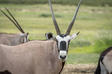 Oryx starring at the camera in the Kalagadi Transfrontier Park, South Africa. Stock Photo