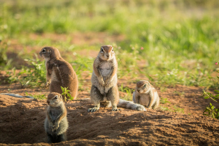 Group of Ground squirrels in the sand in the Kalagadi Transfrontier Park, South Africa. Stock Photo