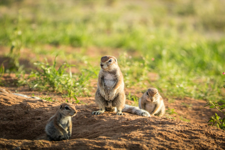 watchful: Group of Ground squirrels in the sand in the Kalagadi Transfrontier Park, South Africa. Stock Photo
